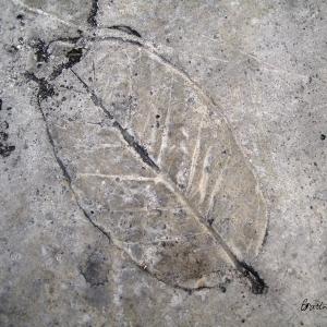 Leaf Imprint II