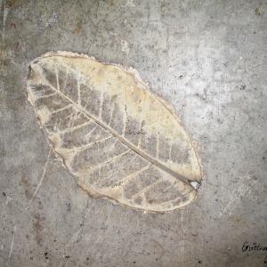 Leaf Imprint I