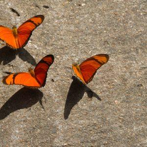 Butterflies Taking Off